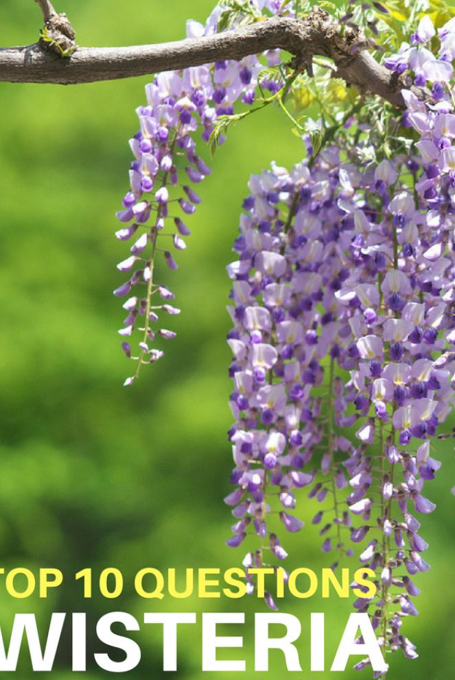 Top 10 Questions About Wisteria Vines Gardening Know How S Blog In 2020 Garden Vines Wisteria Plant Prayer Garden