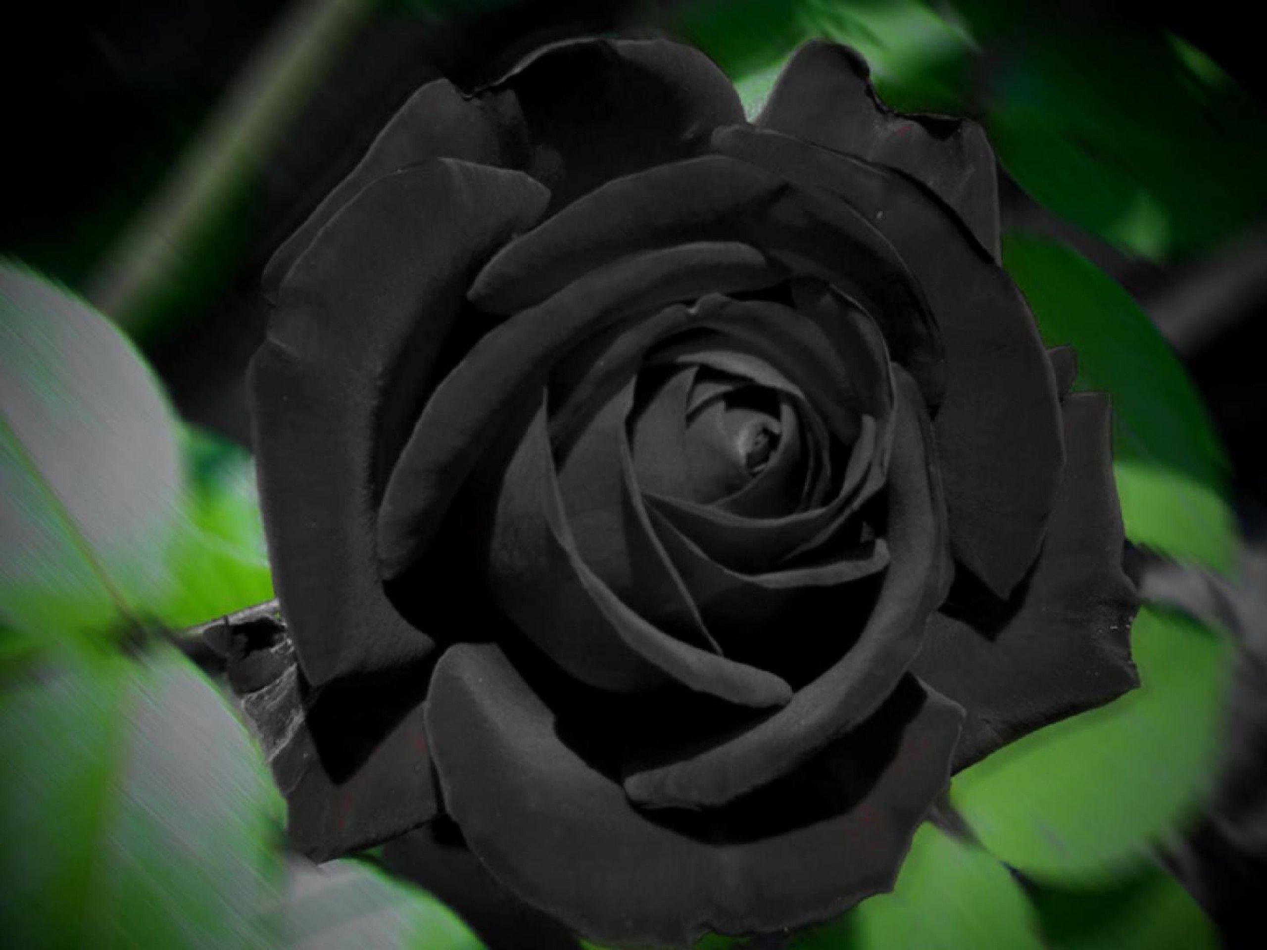 фото чёрных роз: 21 тыс изображений найдено в Яндекс ...