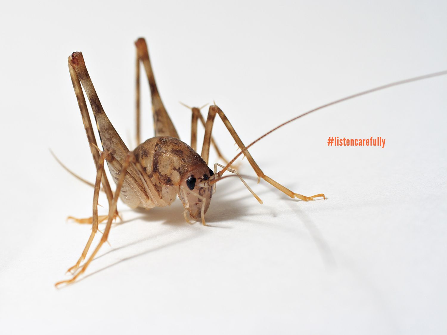 fun fact: crickets have their hearing organs in an unlikely