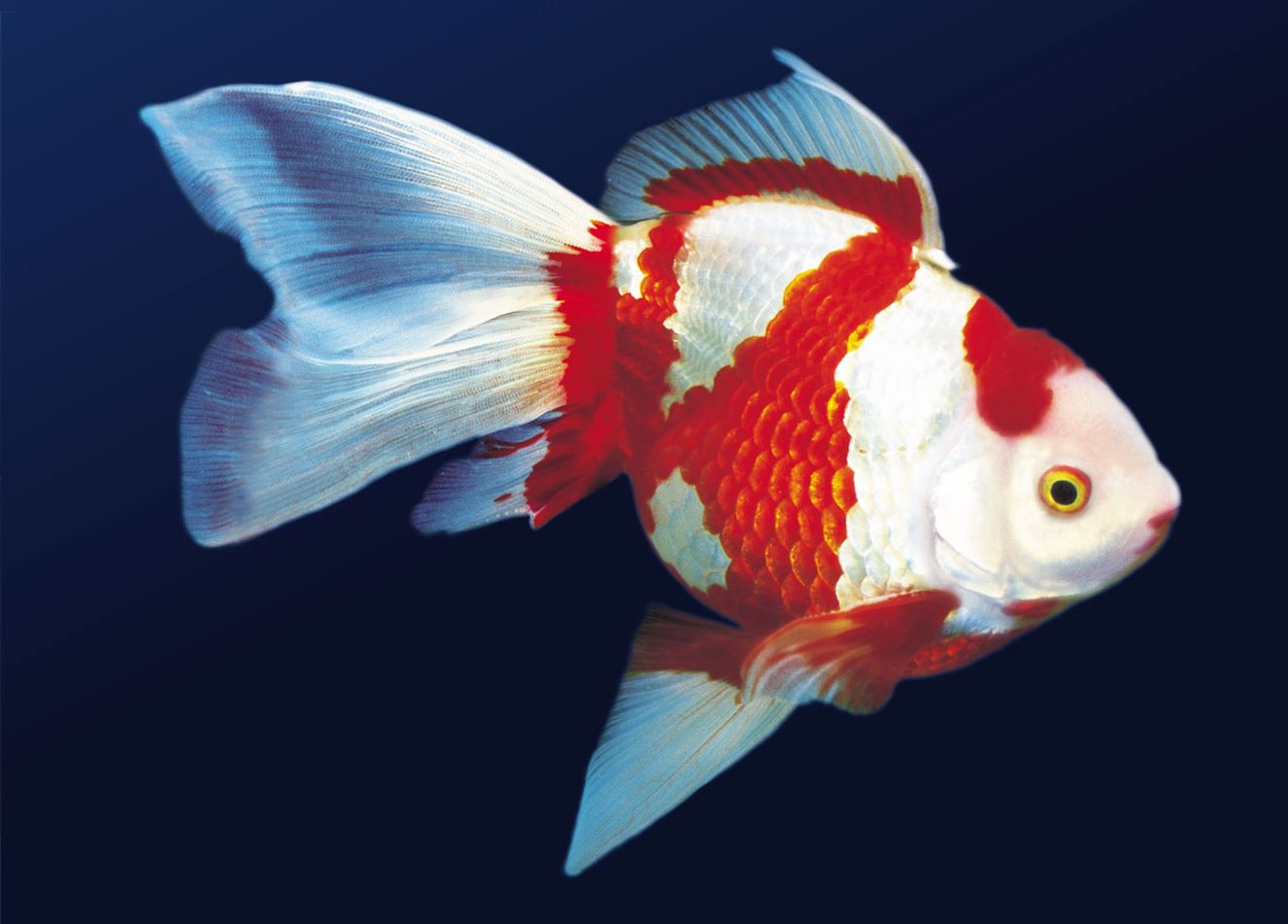 gold fish | ... , the goldfish is still the most widely kept pet in ...