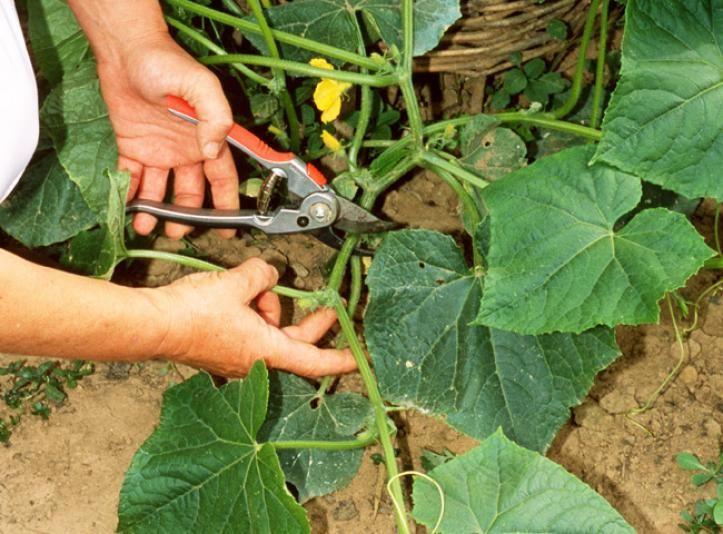 Taille des concombres au potager : un travail de ...