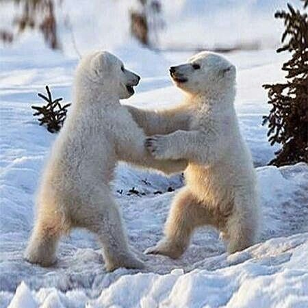 Polar bear cubs playing...adorable!!