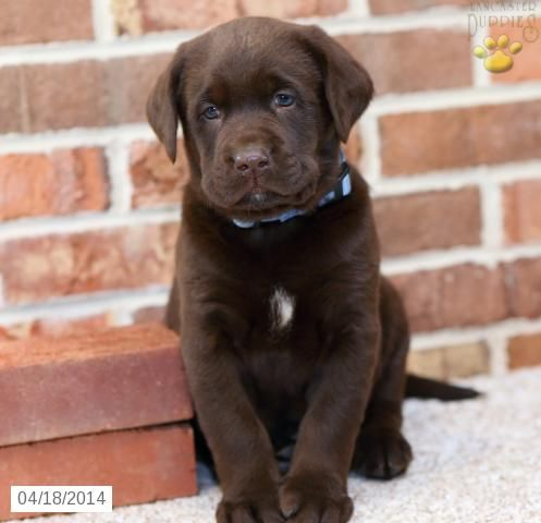 Mason Labrador Retriever Puppy For Sale In Ephrata Pa Labrador Retriever Puppy For Sale Labrador Retriever Labrador Puppy Puppies