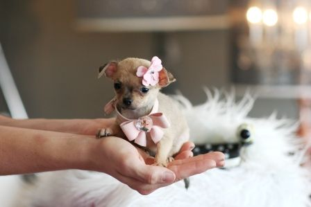 Pretty In Pink Puppy Dog Pictures Teacup Chihuahua Chihuahua
