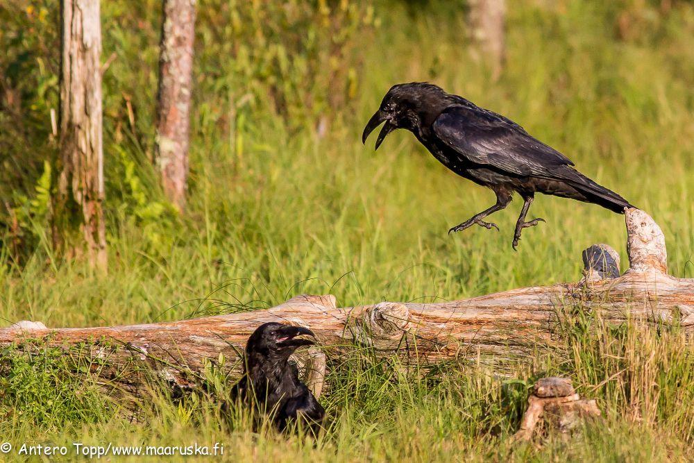 Jumping bird by Antero Topp