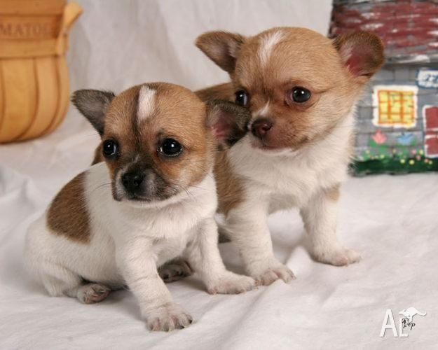 Puppies Adorable Chihuahua Puppies For Sale In Clarendon Vale Tasmania Want Chihuahua Puppies Toy Dog Breeds Cute Chihuahua