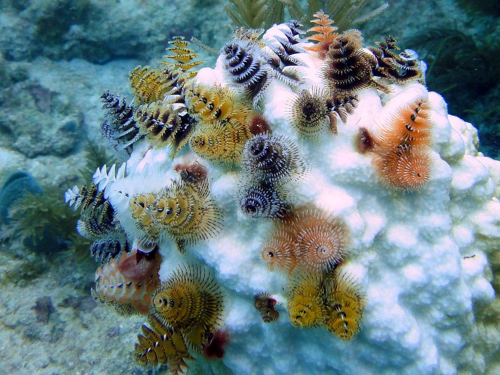 Christmas Tree Worms On Bleached Coral Head French Reef Key Largo Weird Sea Creatures Underwater Creatures Sea Creatures