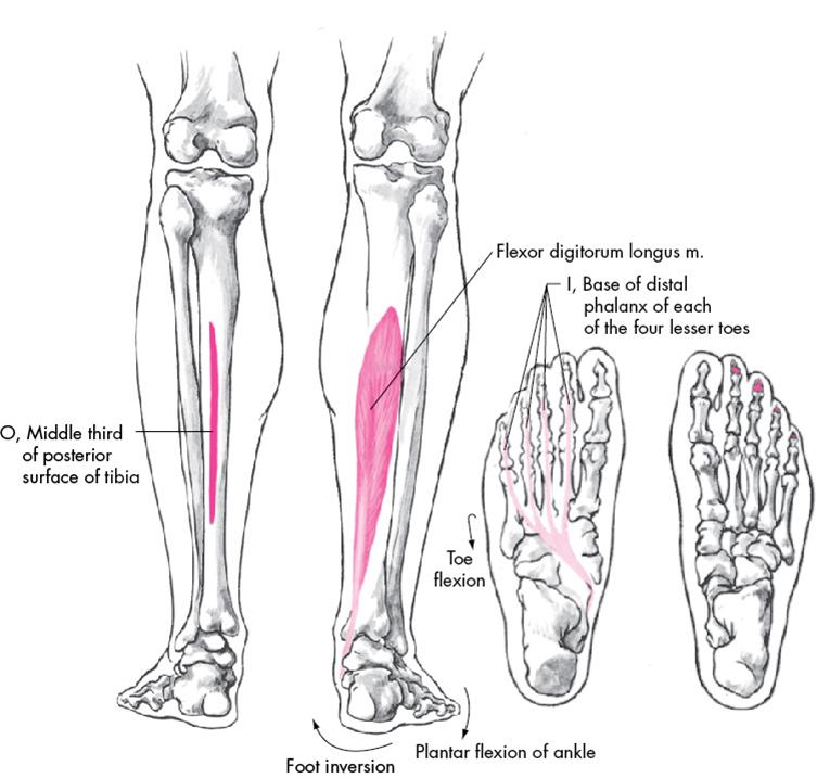 flexor digitorum longus origin and insertion | med school, Cephalic Vein