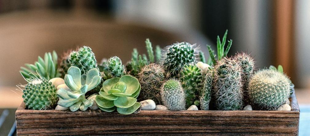 Kaktusy To Kwiaty Doniczkowe Do Wnetrz Idealne Wprost Dla Tych Ktorzy Notorycznie Zapominaja O Podlewaniu Succulents Indoor Cactus Plants Cactus House Plants