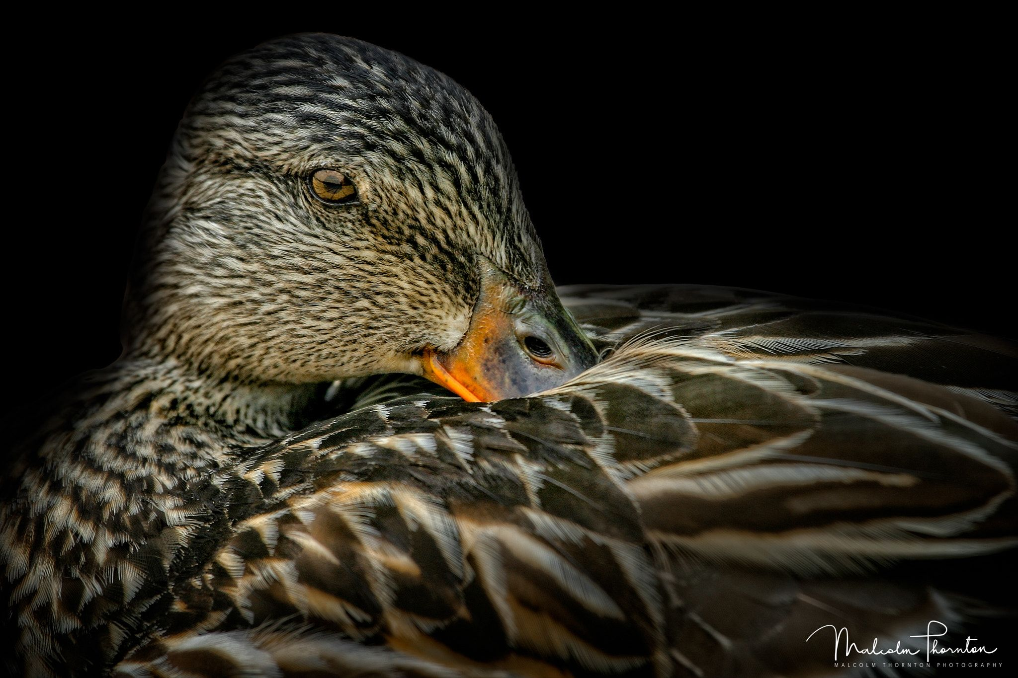 Resting Mallard Image Of A Female Mallard Duck Resting On
