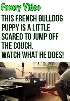 French Bulldog Puppy Jumping Off A Couch Cute French Bulldog