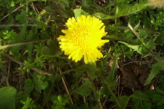 5000 Fresh Organic Dandelion Seeds Free Shipping By Bergertime Dandelion Seed Organic Lawn Care Organic Lawn