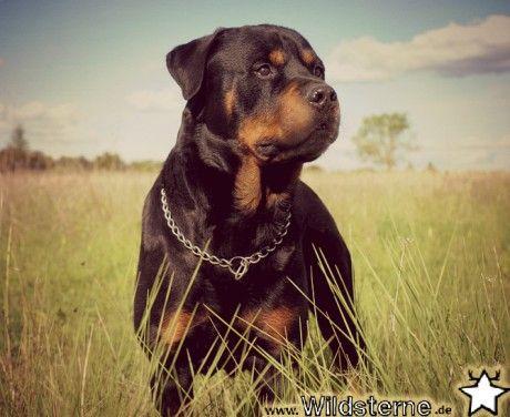 """Unser Hund der Woche der """"Rottweiler"""" Warum wir ihn so"""