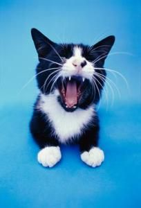 Is It Normal For Adult Cats To Lose Their Teeth Cat Having Kittens Kittens Cat Allergies