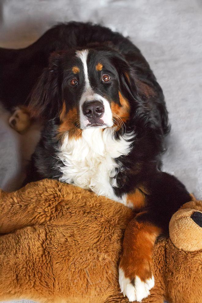 Sunny von Bayern (mit Bildern) Sennenhund, Schweizer
