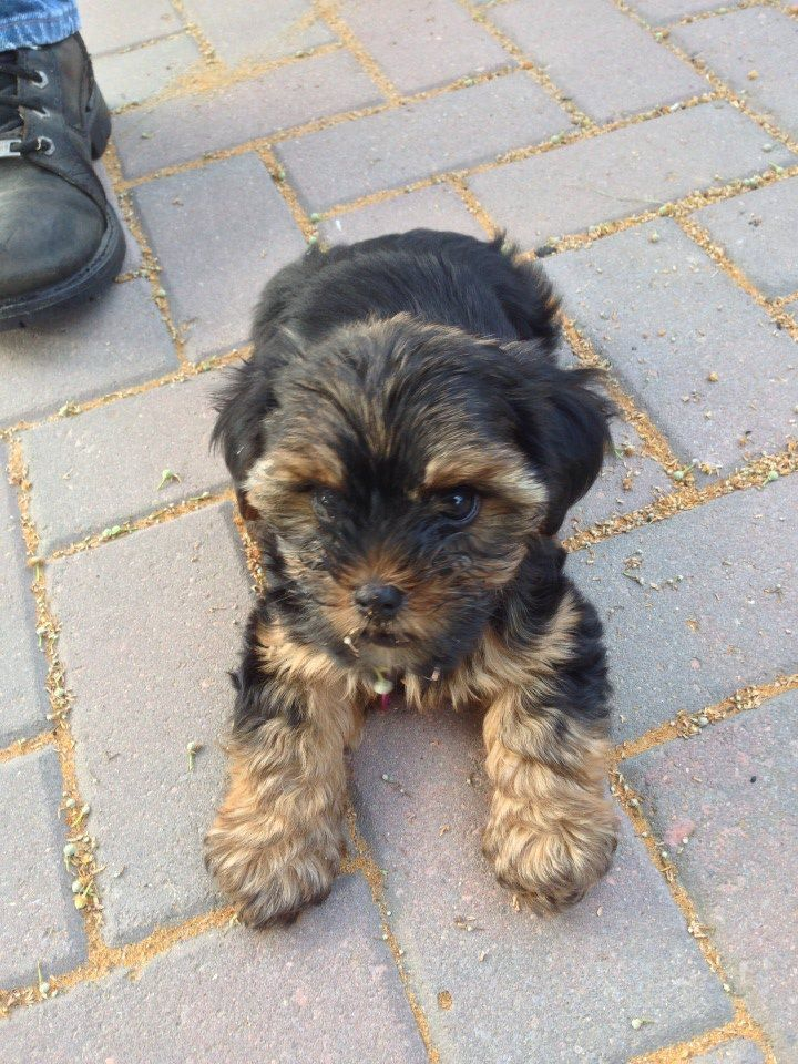 Shorkie Talk Ms. Kenzie Yorkie, Teacup puppies