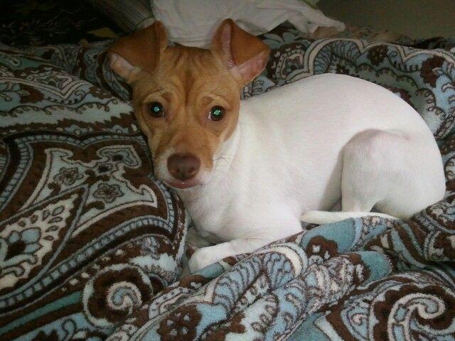 Love my rat terrier...Snooki