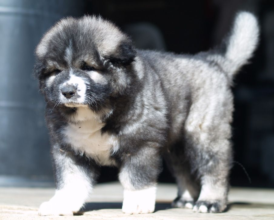 Must see Caucasian Ovcharka Chubby Adorable Dog - 7fcb9d488814769b2b164830b07095dc  Photograph_83840  .jpg