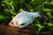 Puntius Tetrazona Tiger Barb Systomus Tetrazona Systomus Sumatranus Tropical Fish Tanks Aquarium Fish Tropical Fish