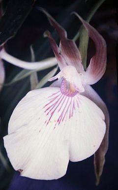 Zygosepalum labiosum