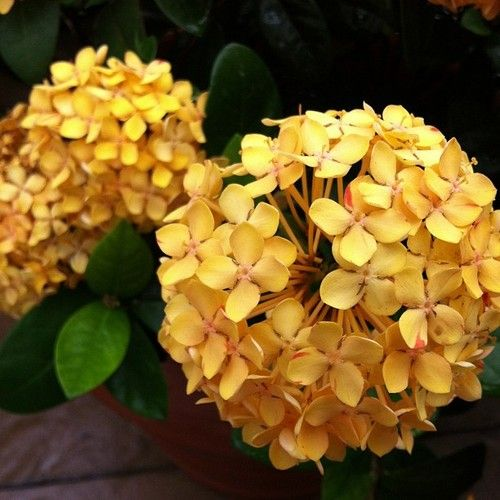 reminds me of a yellow hydrangea — ixora 'maui yellow' in the