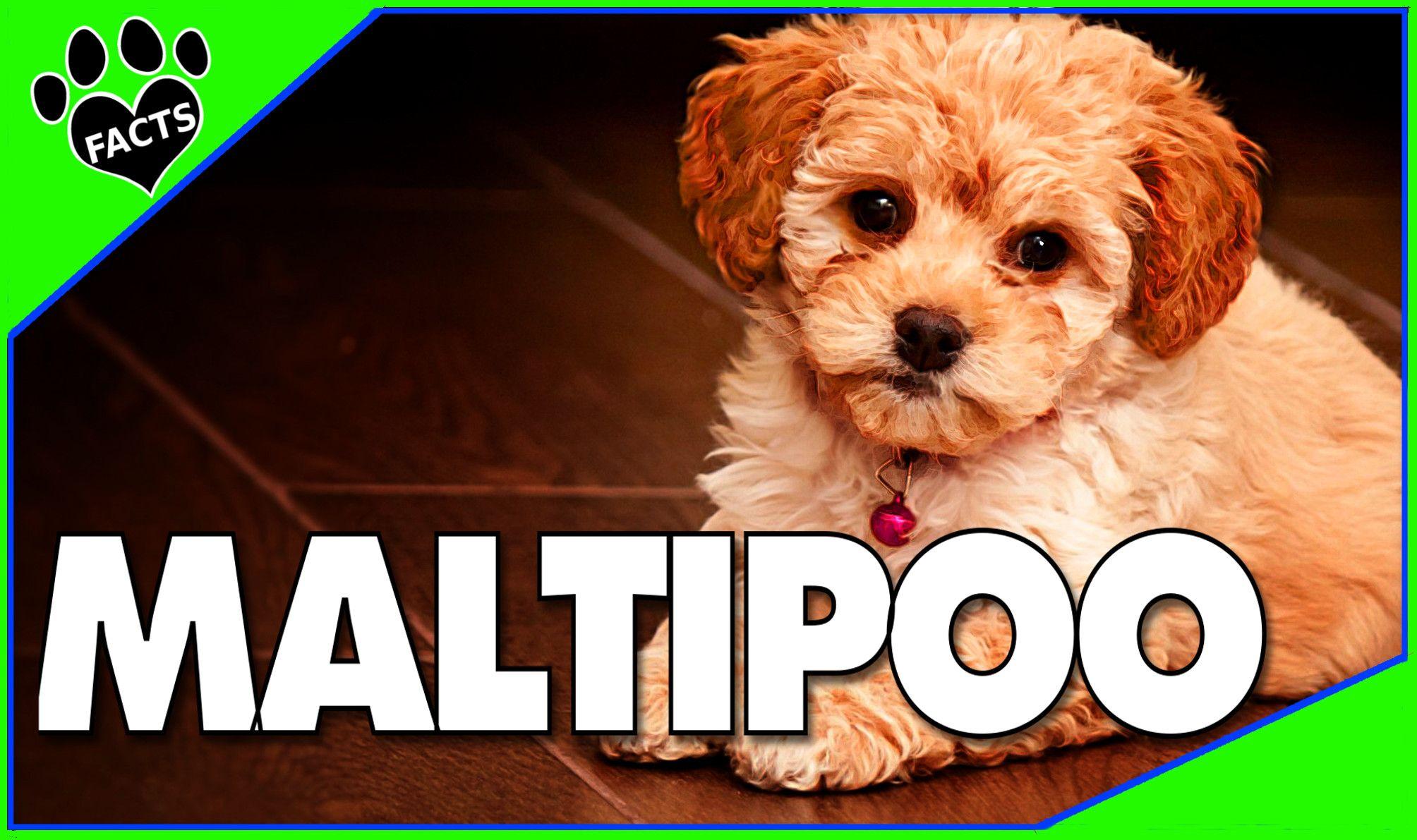 Maltipoo Designer Dogs 101 Fun Facts Maltese Poodle Mix Maltipoo