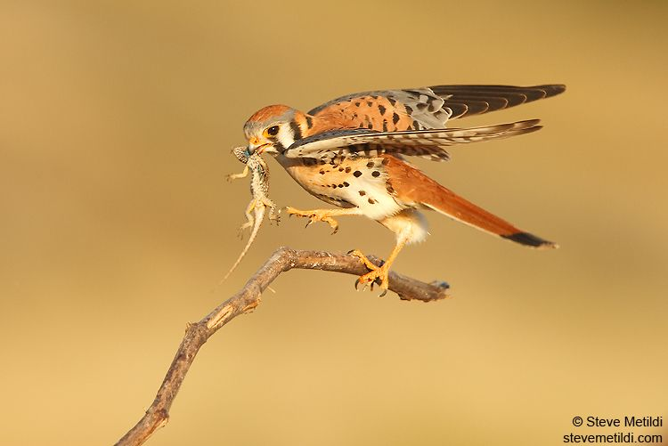 [][][] American Kestrel. Order Falconiformes. Includes Falcons and Caracaras. Have a hooked bill and grasping talons. Formerly groups with other diurnal raptors, but now in their own group since they are not closely related. Falcons have slender pointed wings, and are capable of very rapid flight. This order of birds has what is called a tomial tooth.
