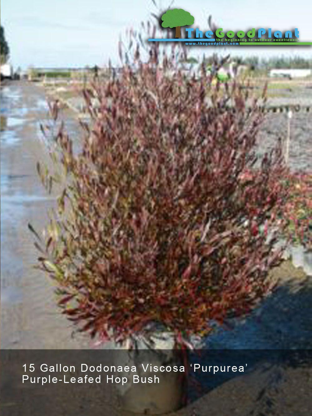 Dodonaea Visconsa \'Purpurea\' Great LA plant - shrub/tree depending ...