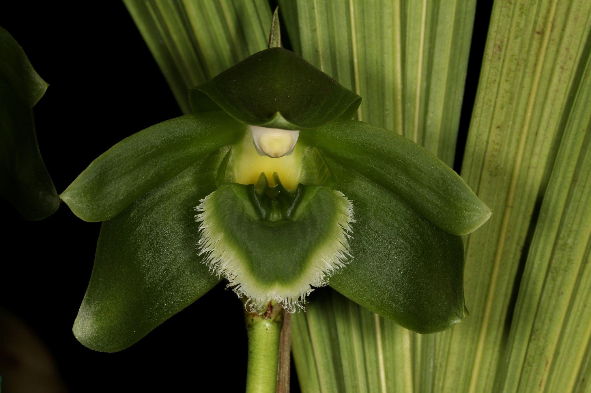 Sudamerlycaste locusta -  Endemic to Peru