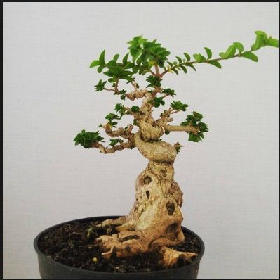 cara merawat dan mengembangbiakkan bonsai sancang budidaya bonsai rh pinterest com Japanese Bonsai Trees Bonsai Shapes