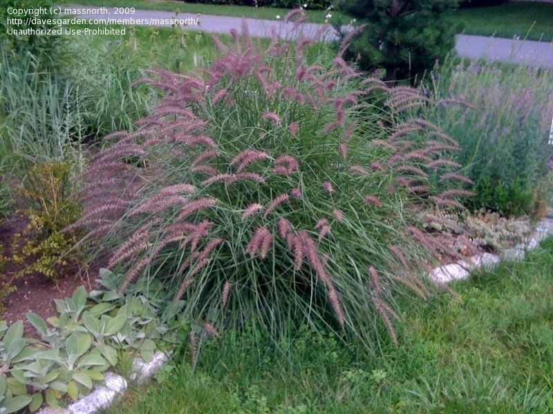 View Picture Of Oriental Fountain Gr Karley Rose Pennisetum Orientale At Dave S Garden All Pictures Are Contributed By Our Community