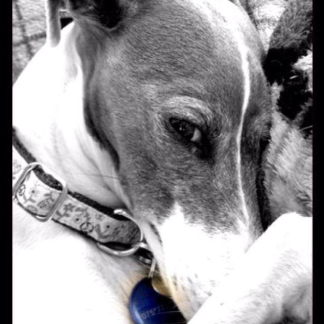 Marley  #IggyLove #MyItailianGreyhound
