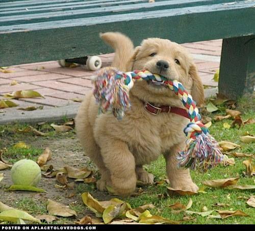 Amazing Teddy Bear Chubby Adorable Dog - 7fcf137a2b7b53be8145a1a0a8cf8454  Image_422758  .jpg