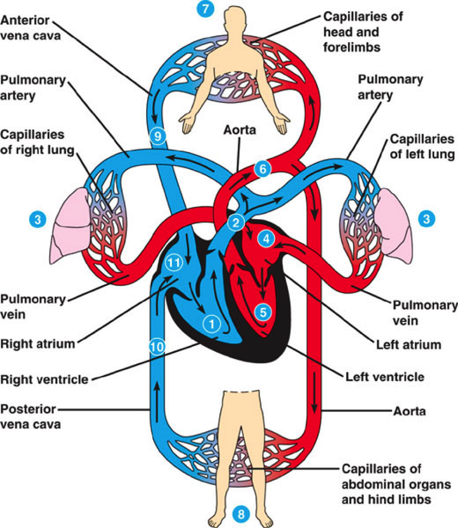 Diagram of Human Heart Circulation   Printable Diagram ...