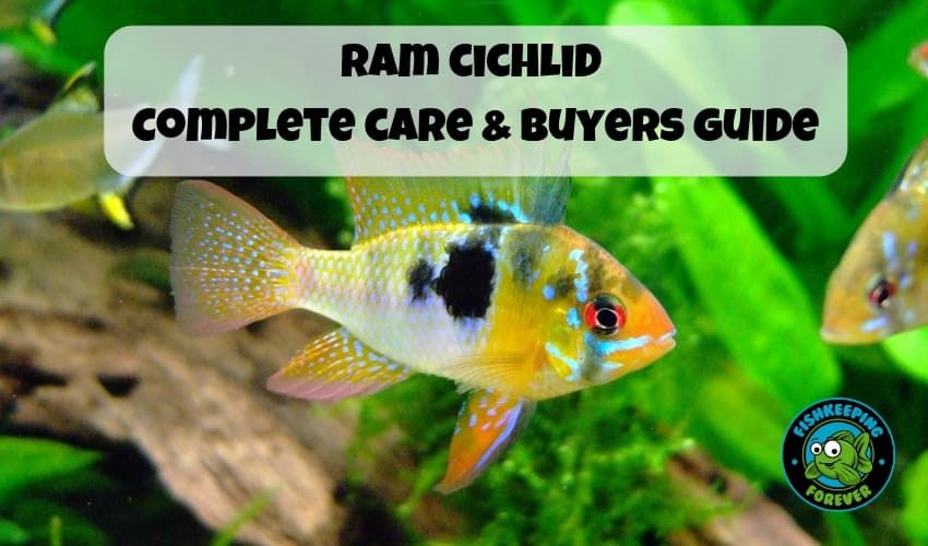 Ram cichlid complete care and buyers guide  FRESHWATER FISH TROPICAL
