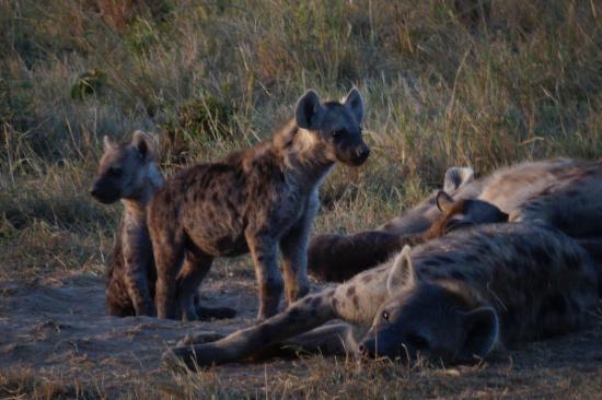 Hyena pup, Masai Mara