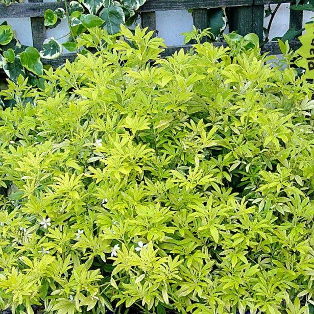 choisya goldfinger oranger du mexique petit arbuste persistant au feuillage dor plantes. Black Bedroom Furniture Sets. Home Design Ideas