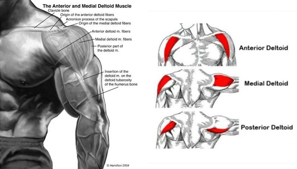 Deltoid Anatomy Your Deltoids Are Formed Of 3 Headsdeltoid Anatomy