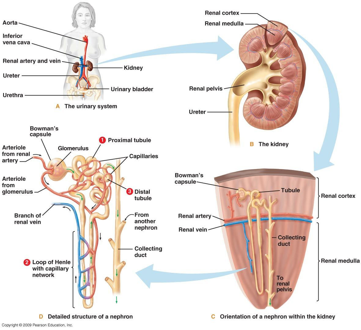 Human excretory system diagram is a passive biological system that human excretory system diagram is a passive biological system that removes excess unnecessary materials from ccuart Choice Image