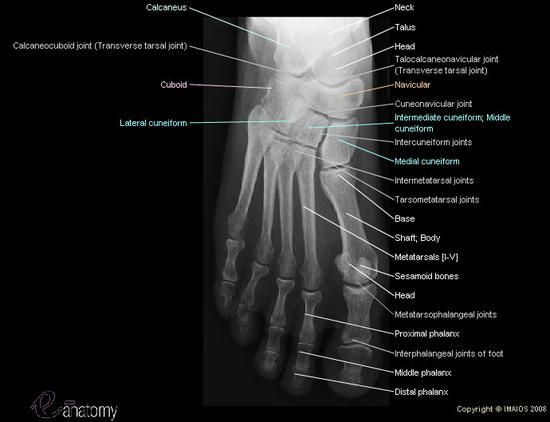 superior radiograph of the foot with all anatomical structures, Skeleton