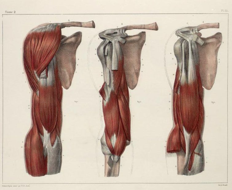 Muscles+of+the+shoulder+and+arm.jpg (755×618) | Anatomical Drawings ...