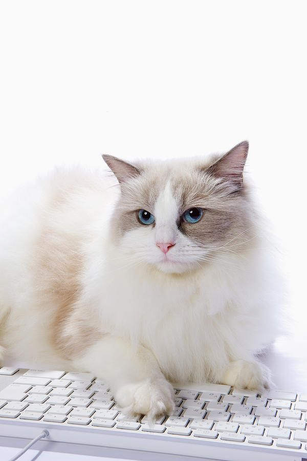 Ragdoll Cat And Keyboard Of The Pc By Ultra F Pretty Cats Ragdoll Cat Cats