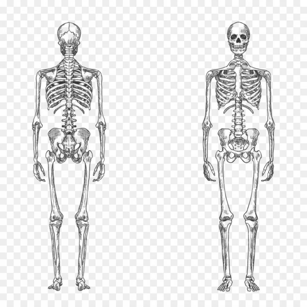 Png Human Skeleton Bone Human Body Anatomy Vector Huma Soidergi Human Skeleton Bones Human Bones Skeleton Bones