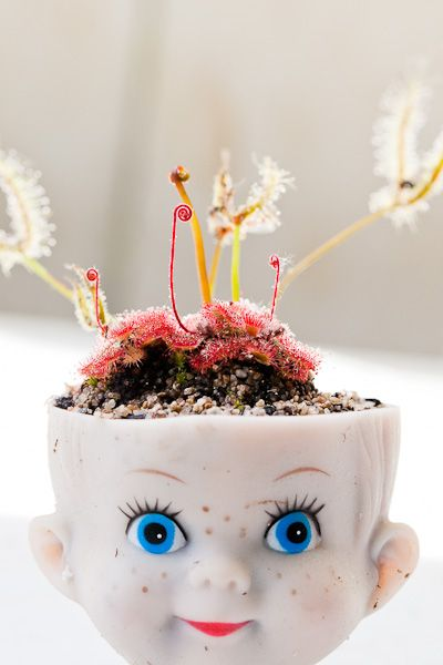 Carnivorous sundew plants in a doll head planter
