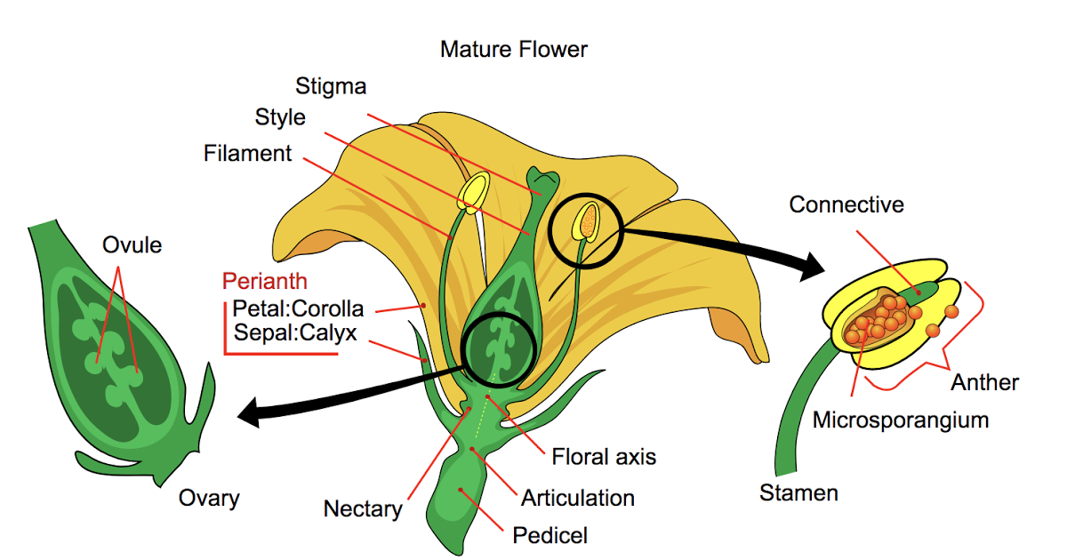 Dissecting a Flower to Teach Structure and Function NGSS4