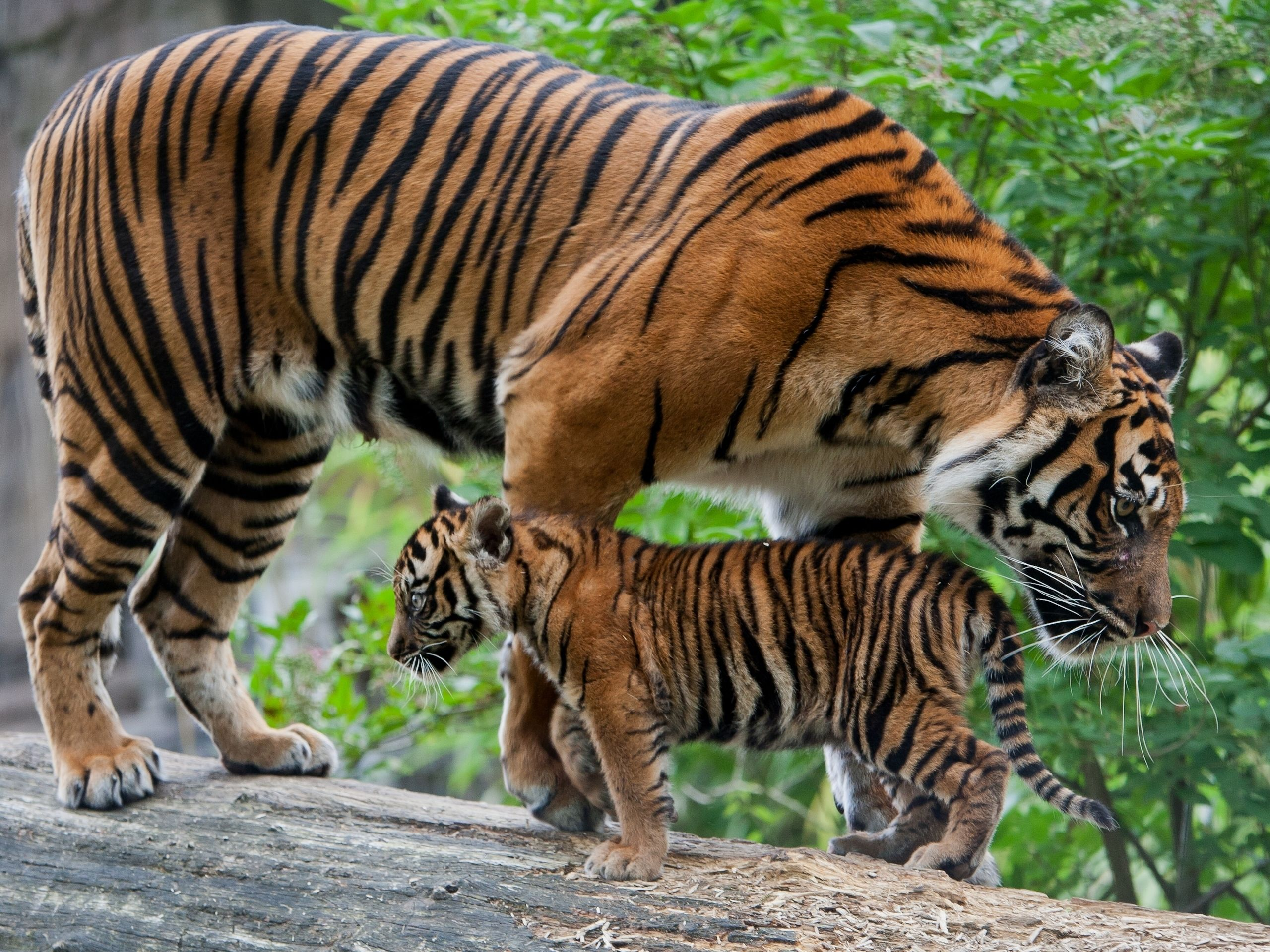 Tigress and cub in the wild wallpaper http www - Animaux wallpaper ...