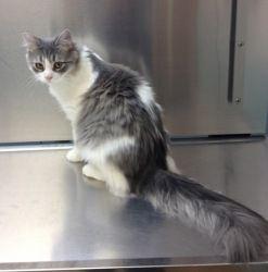 Adopt Bella On Animals Beautiful Cute Cats Ragdoll Cat