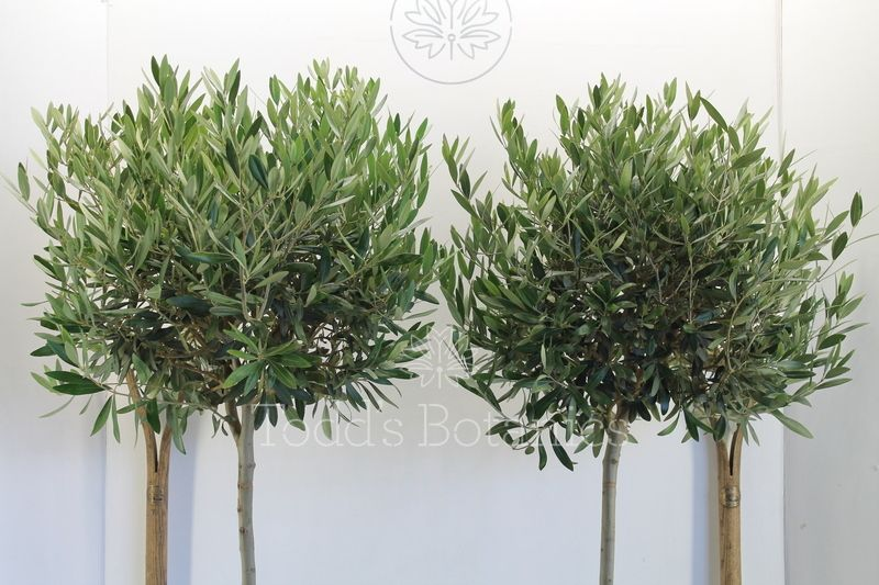 A beautiful pair of olive trees for sale todd 39 s botanics for Olive trees for sale