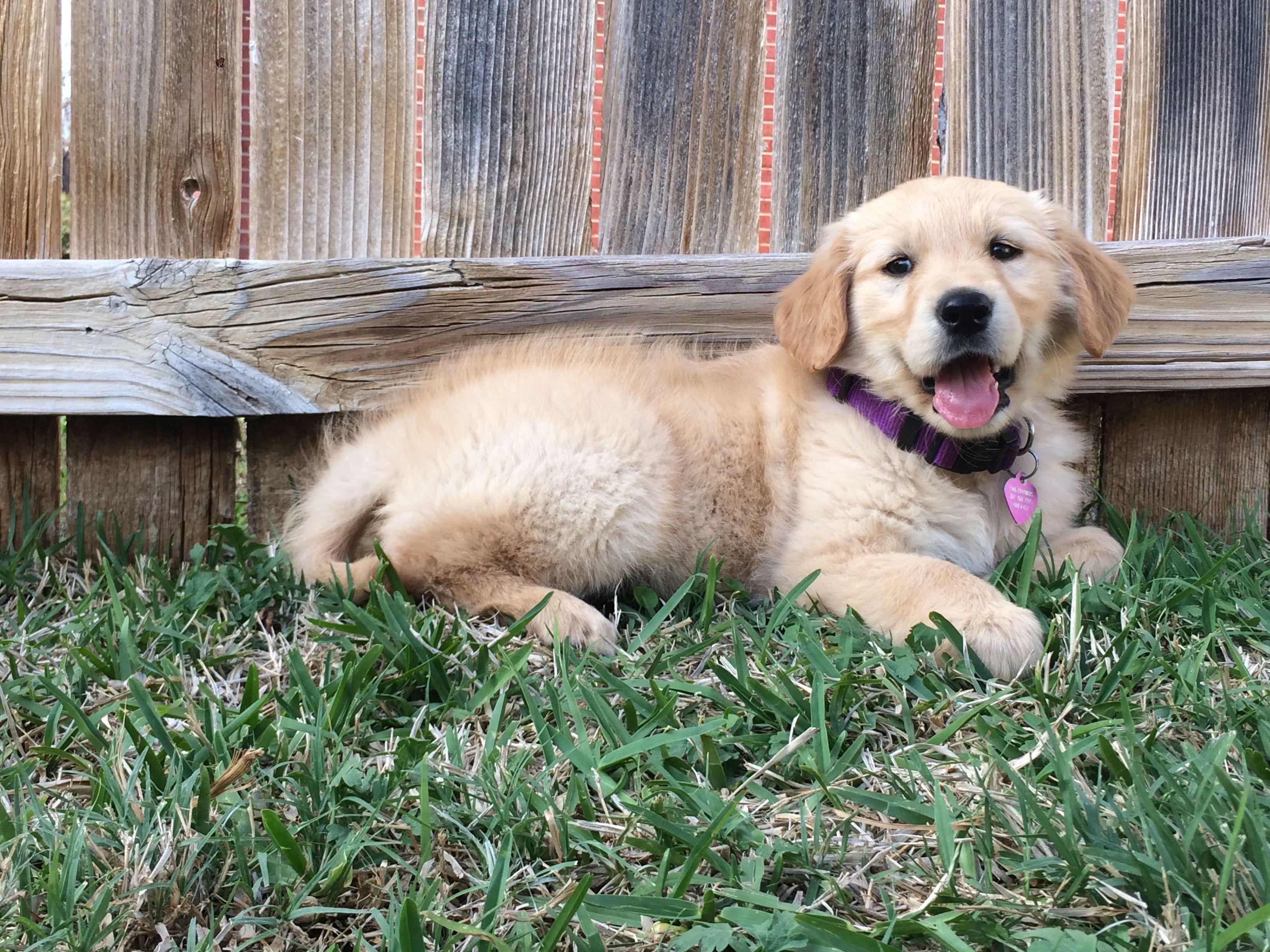 red golden retriever puppy sooooooo cute!!! ️ (With