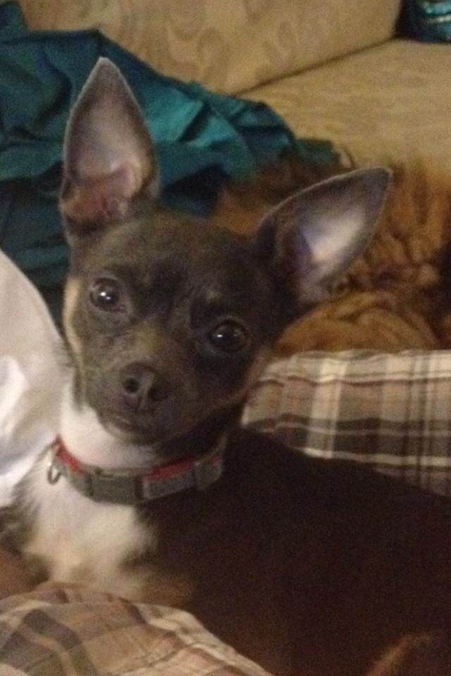 Founddog 8 7 14 Murfreesboro Tn Chihuahua Female 6 Lb St Andrews In Evergreen Sub Rutherford County Https M Facebook Com Stor Losing A Dog Chihuahua Dogs
